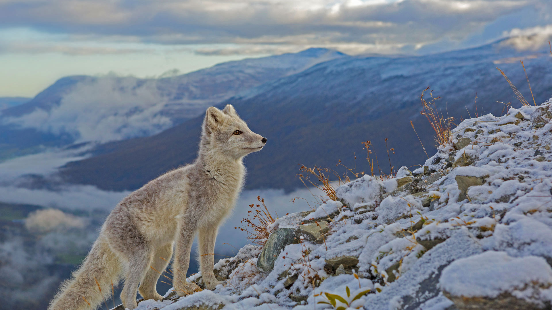 《北极狐》