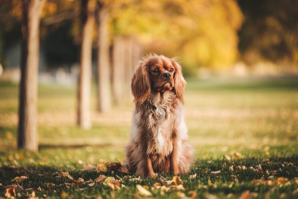 《西班牙猎狗》