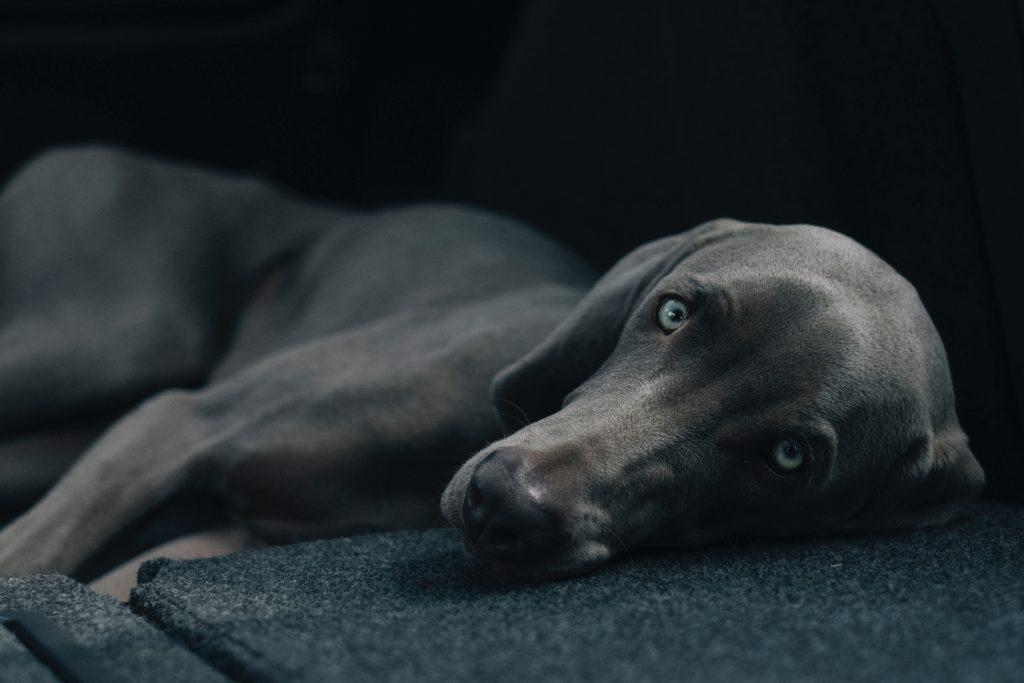 《德国魏玛犬》